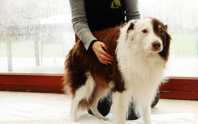 Ingrid De Boelpaep - osteopathy for dogs